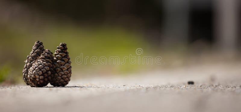3 pinecones коричневого и сухого на белой поверхности Запачканная предпосылка природы, конец вверх по взгляду с деталями, copyspa стоковое изображение rf