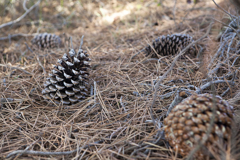 Download Pinecones stock photo. Image of outdoors, element, conifer - 27342544
