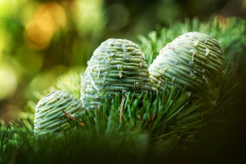Pinecones στοκ εικόνες