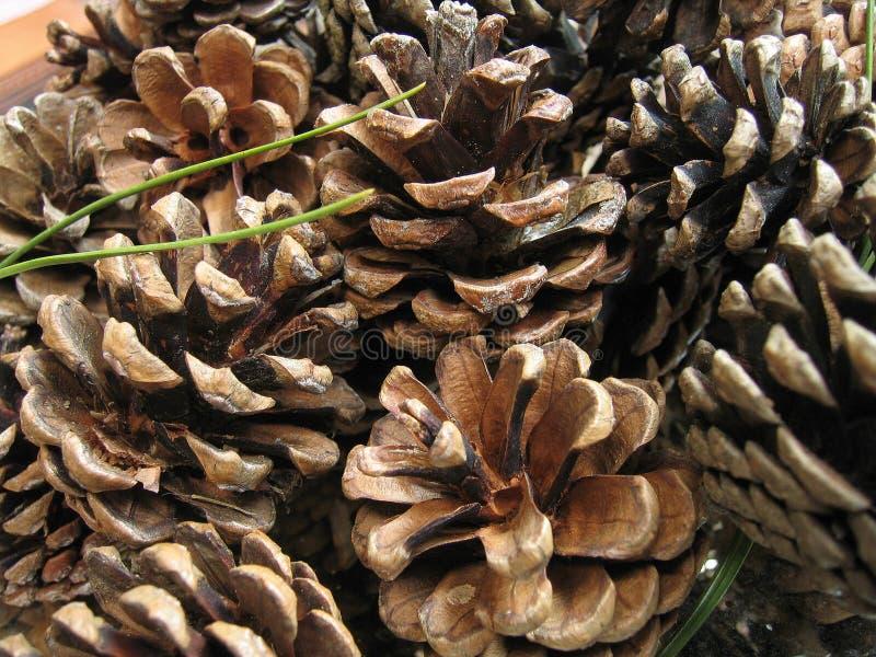 pinecones στοκ φωτογραφία με δικαίωμα ελεύθερης χρήσης