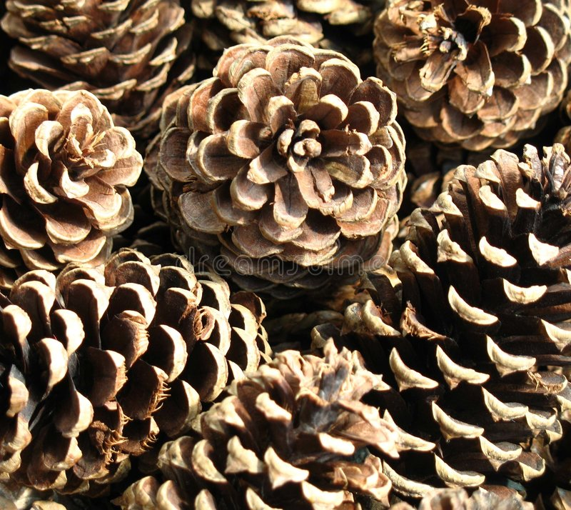 pinecones 图库摄影
