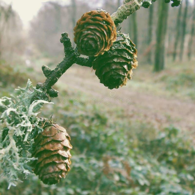 Pinecones en el bosque imagen de archivo libre de regalías