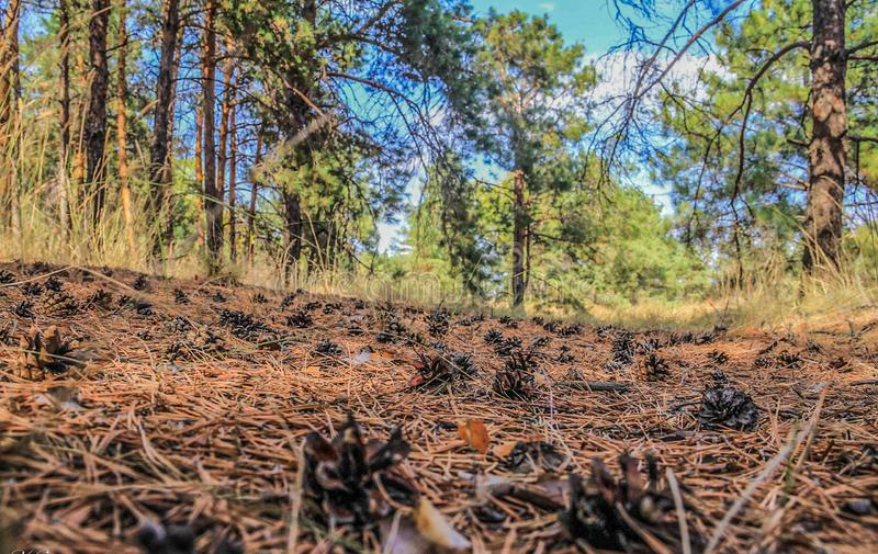 Pinecones in the coniferous forest royalty free stock photos