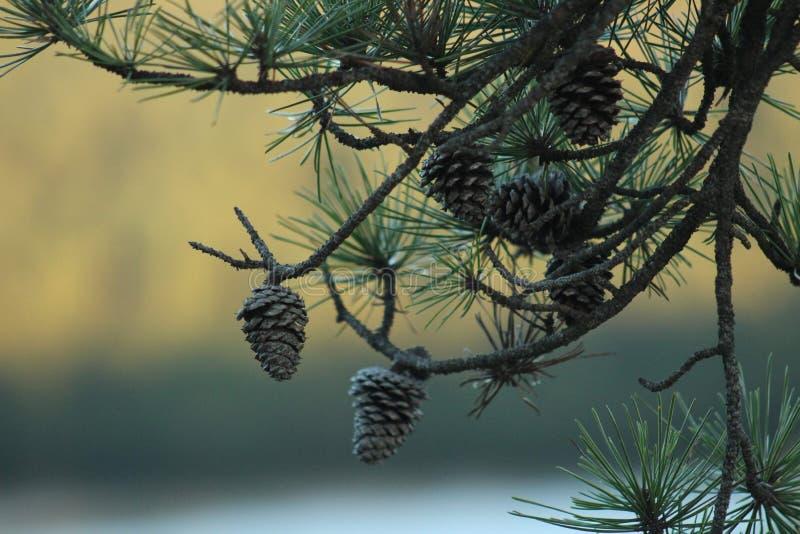 Pinecones med bakgrund för nedgånglövverk arkivbilder