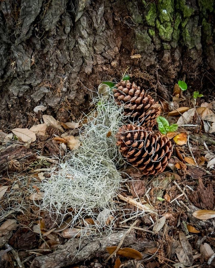 Pinecones met Spaans mos in bladeren stock afbeelding