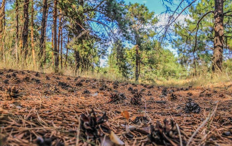 Pinecones na floresta conífera fotos de stock royalty free