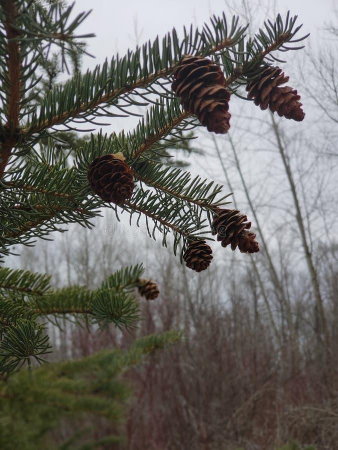 Pinecones nella nebbia immagine stock