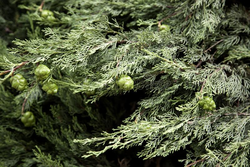 Pinecones no pinho foto de stock