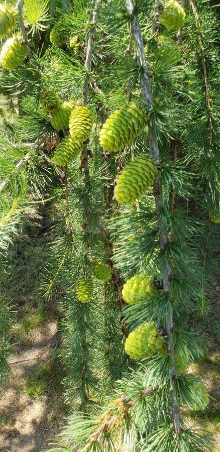 Pinecones pequeno imagem de stock