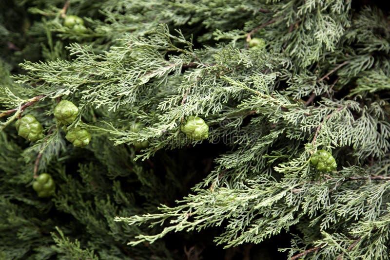Pinecones in pijnboom stock foto