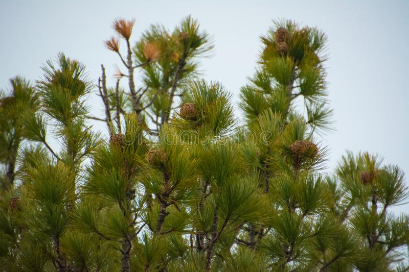 The pinecones on the pinus sibirica. Yamal. Close up. Forest royalty free stock photography