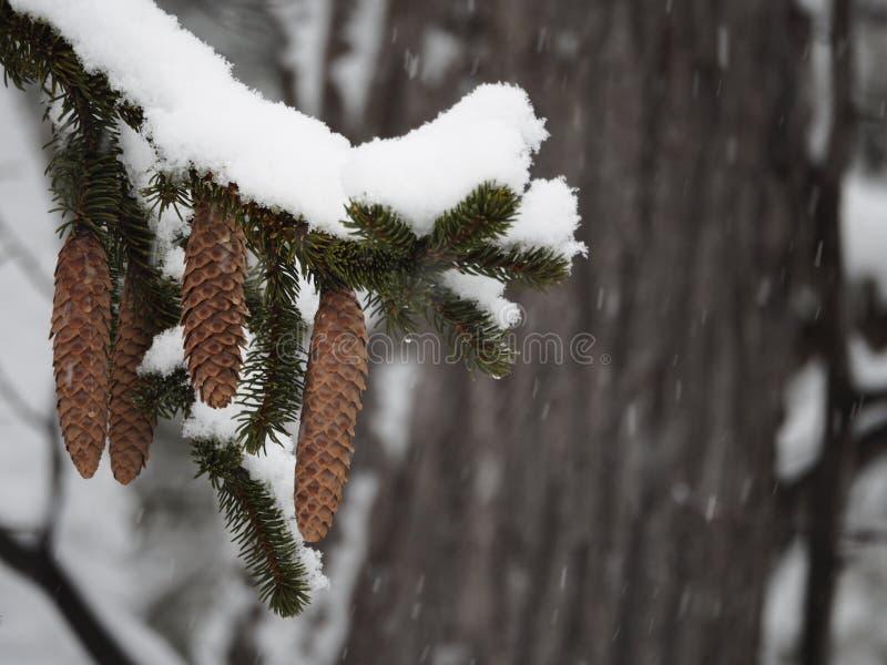 Pinecones que pendura de um ramo coberto de neve fotos de stock royalty free