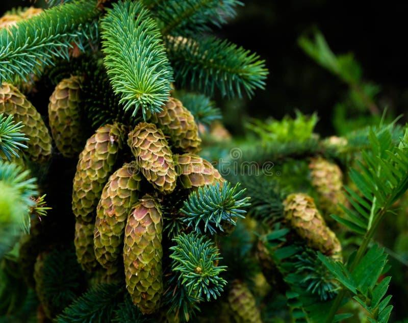 Pinecones sur la côte de l'Orégon, Etats-Unis images libres de droits