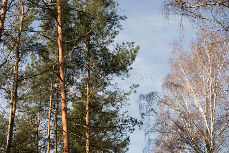 Pinee and birch trees in forest against blue sky stock photo