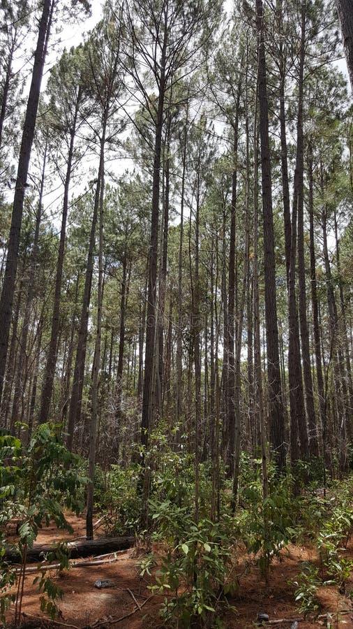 PineForest stock foto's