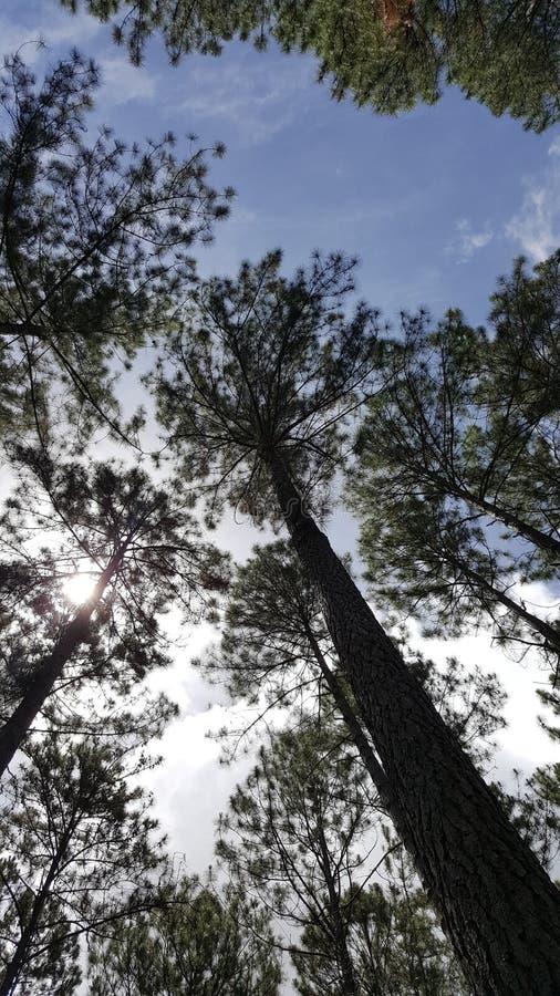PineForest stock afbeeldingen