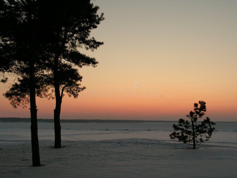 Pines royalty free stock photos