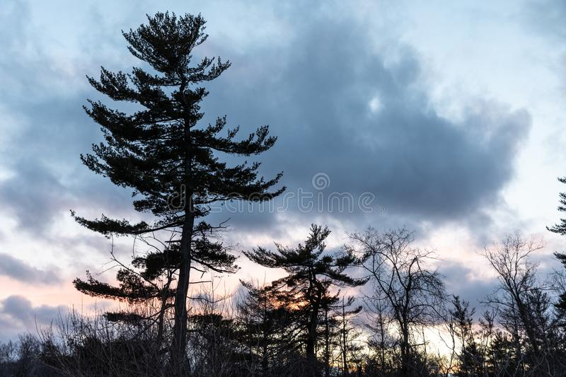 Pines and beautiful clouds sky. Trees pines beautiful clouds sky evening royalty free stock images