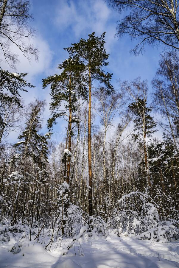Pines and birches in the forest on a Sunny frosty day against a blue sky. Russia, Moscow Region. royalty free stock photos