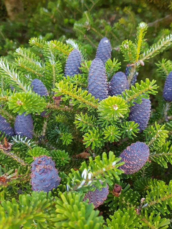 Pine Bloom for Christmas royalty free stock photography