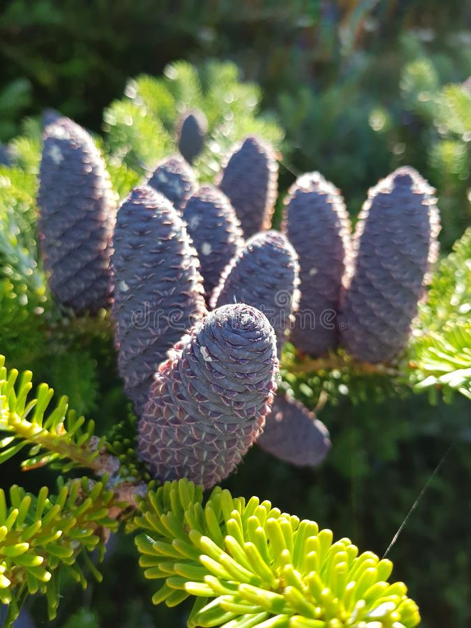 Pines blooming stock image