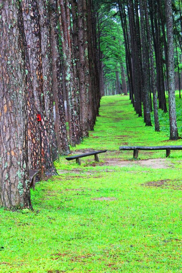 A pines in Chiangmai stock photo