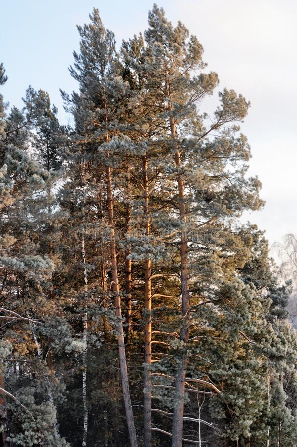 Pines in mountain winter forest during sunset royalty free stock image