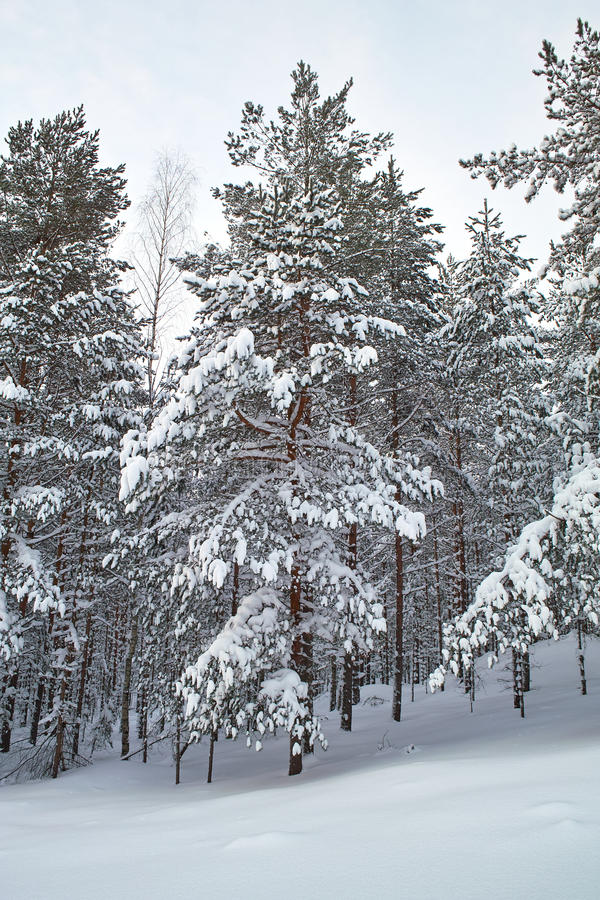 Download Pines in snow stock image. Image of christmas, pinetree - 12413901