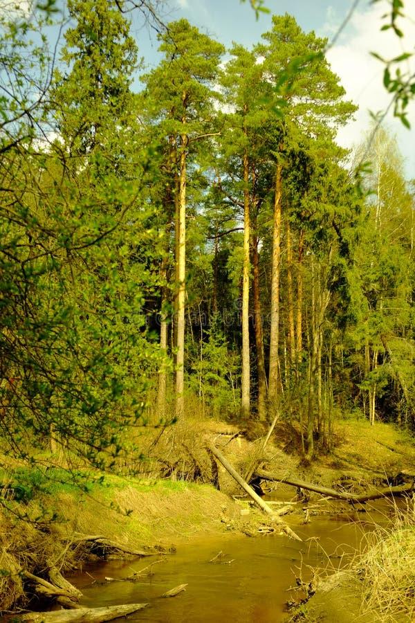 Pines stock photos