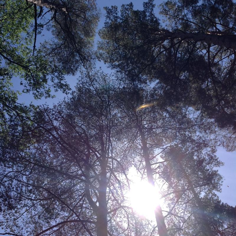 Pines stretch into the sky royalty free stock photos