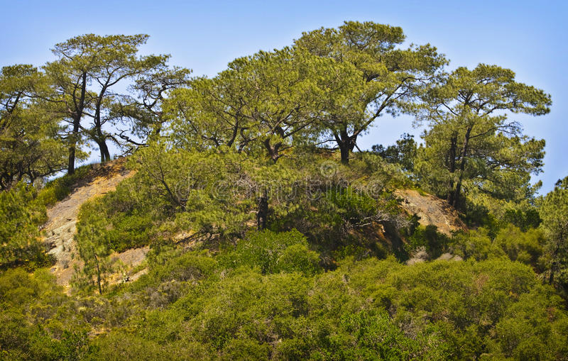 Torrey Pines Trees on Cliff, California royalty free stock photo