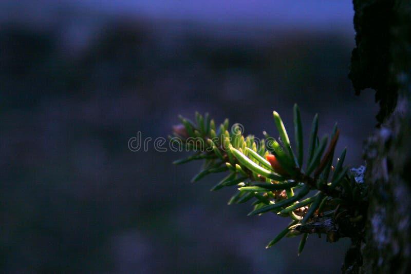 Pinetree стоковая фотография rf