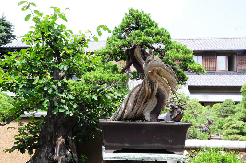 Pinetree-Bonsais stockfoto