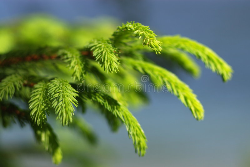 Download Pinetree branches stock image. Image of fresh, sunlight - 5670719
