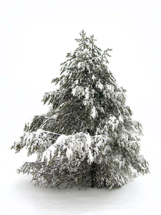 Pinetree In De Sneeuw Van De Winter Stock Afbeeldingen
