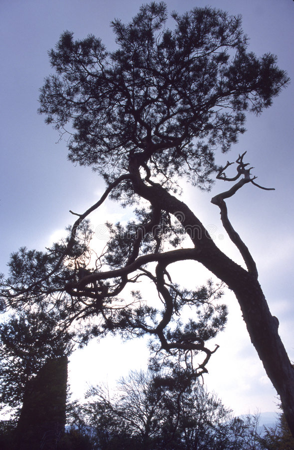 Pinetree on a ruin royalty free stock image