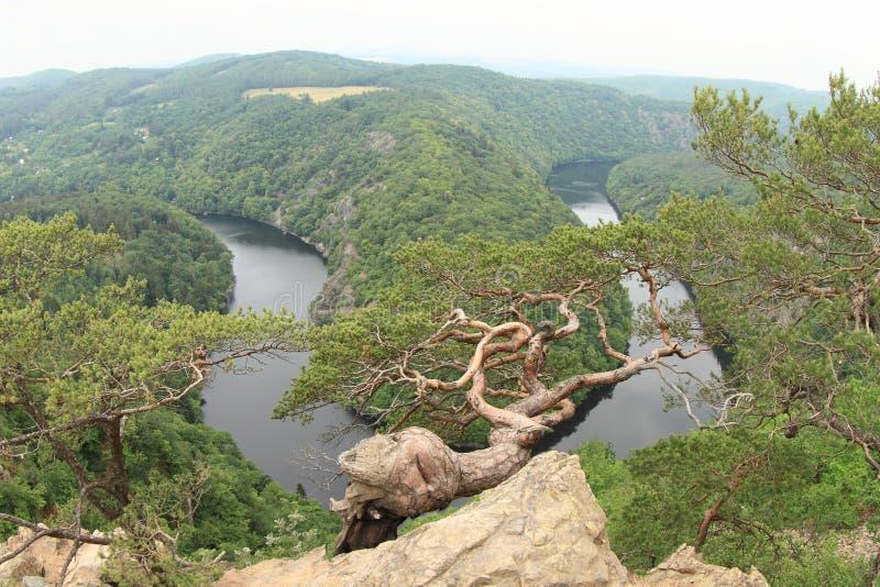Pinetree sulla vista sul fiume la Moldava - maggiore di Vyhlidka fotografia stock