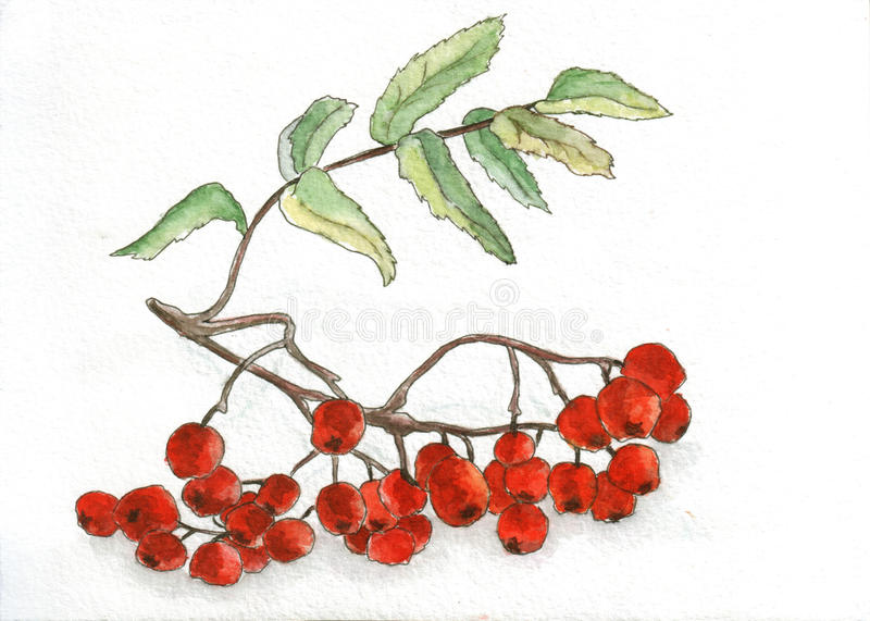 Mountain Ash. Watercolor and ink hand drawing of mountain ash berries stock illustration