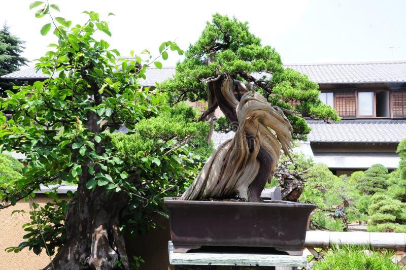 Pinetreebonsai stock foto