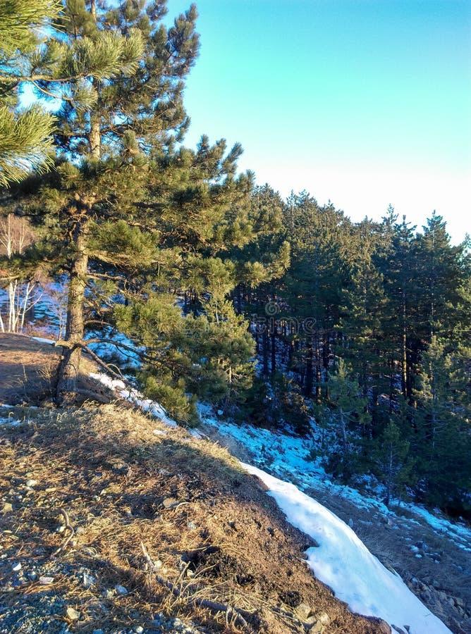Pinetrees de la montaña imagen de archivo libre de regalías