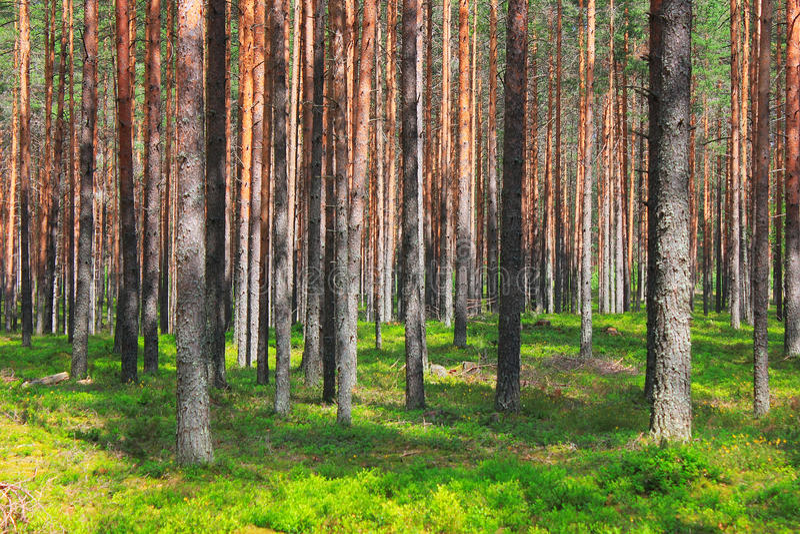 Pinewood royalty free stock photography
