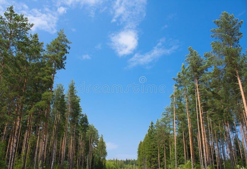 Download Pinewood stock image. Image of leaves, pine, pinewood - 27288947