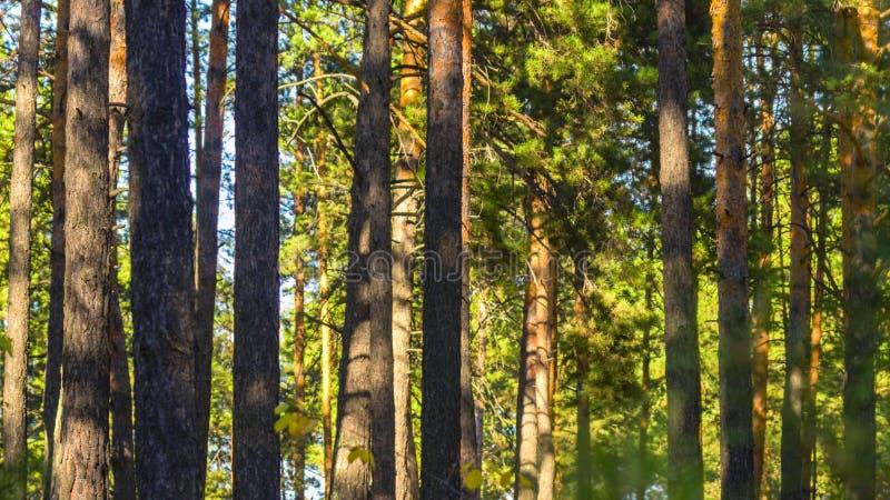 Pinewood Drzewni bagażniki Na Pogodnym letnim dniu organiczne tło zdjęcie stock