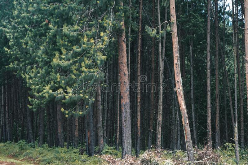 Pinewood forest in Tanzania stock photography