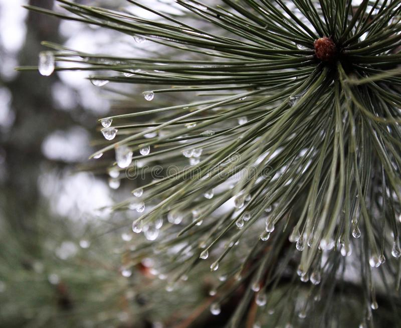 Pinewood with waterdrops royalty free stock photos