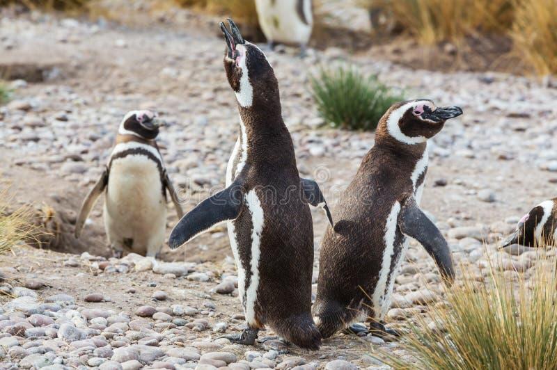 Download Pingüino imagen de archivo. Imagen de primer, cubo, américa - 64207305