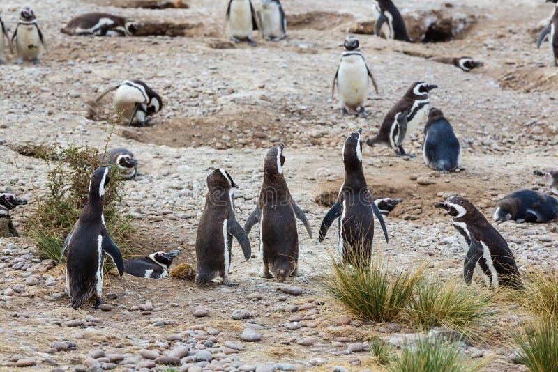 Download Pingüino foto de archivo. Imagen de marina, argentina - 64207328