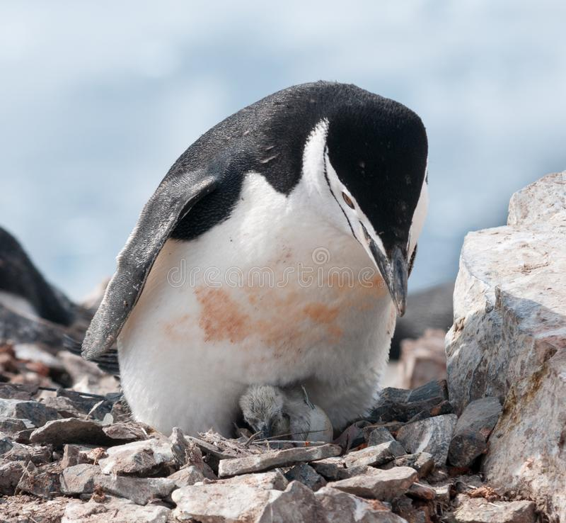 Pingüino adulto de Chinstrap con el polluelo nuevamente tramado, península antártica imagenes de archivo