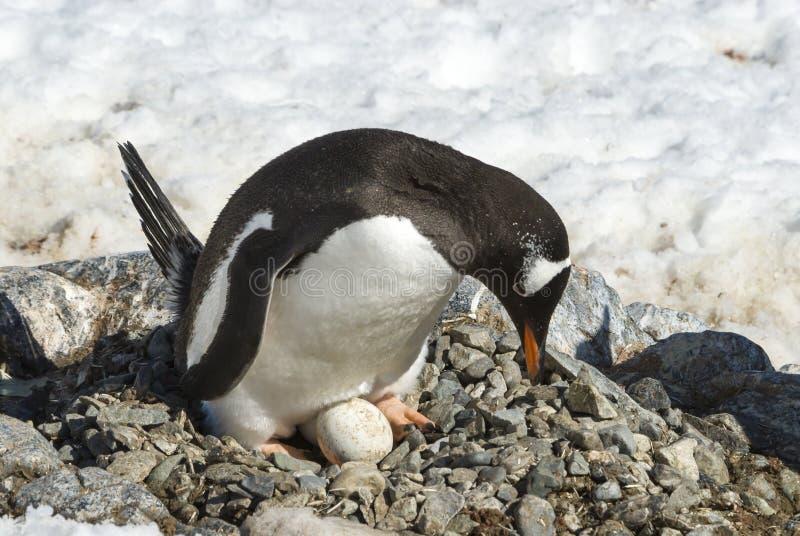 Pingüino adulto de Gentoo con el huevo fotografía de archivo