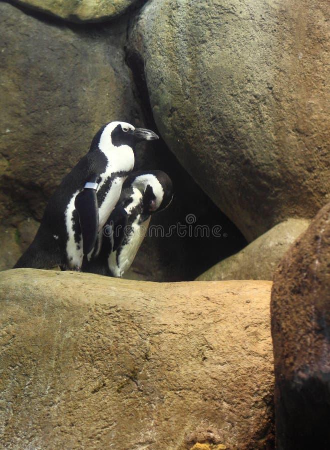 Download Pingüino africano foto de archivo. Imagen de rocas, animal - 41911570